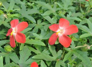 Som-Chaba - Abelmoschus moschatus Medicus spp. Tuberosus Borss. (Malvaceae)