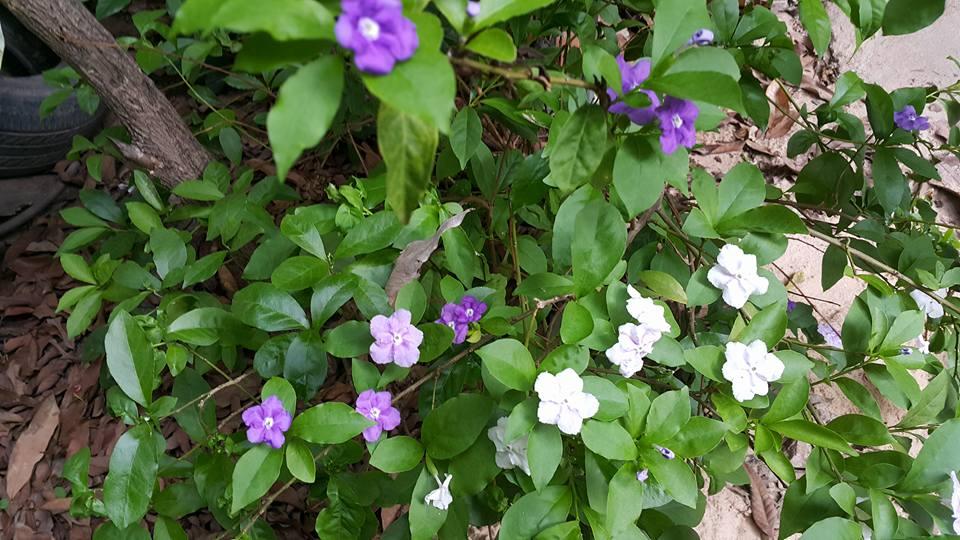 Brunfesia Hopeana Benth