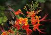 Caesalpinia Pulcherrima SW